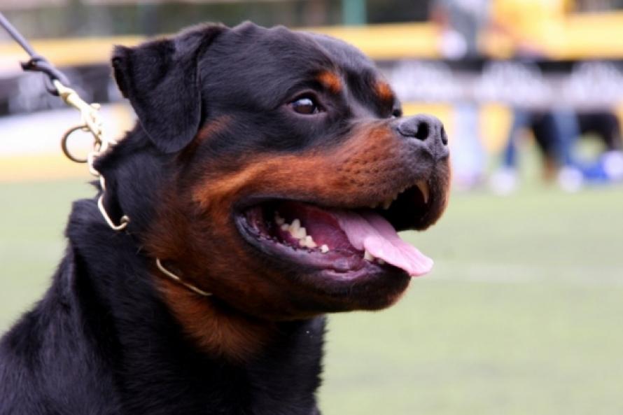 фото собак ротвейлеров в бою справиться ними, нужно