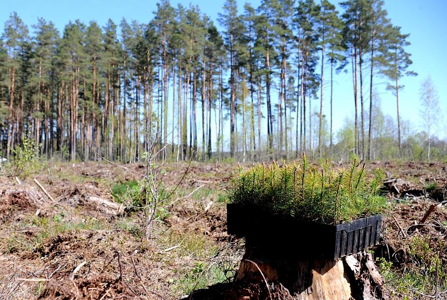 Grib atļaut kailcirtes piejūras mežos