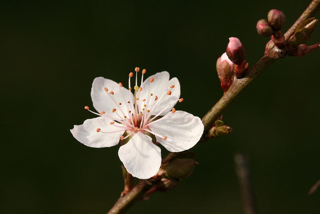 Cerībā atjaunot Kurzemes olplūmi lūdz atsaukties savulaik ļoti ražīgo šo koku īpašniekus