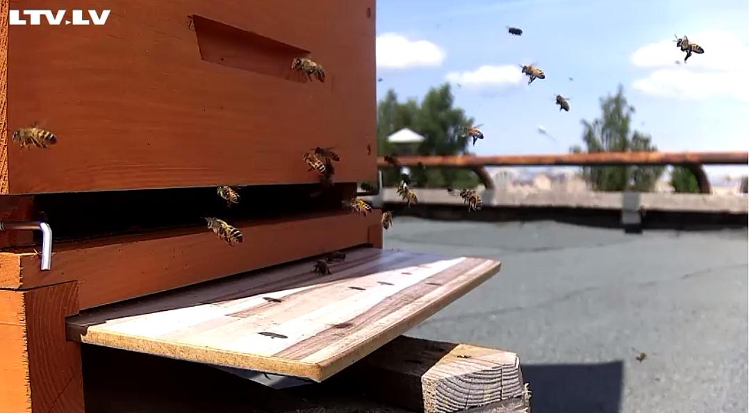 Biškopji par gardāko šogad atzinuši LTV ēkas stropos ievākto liepziedu medu