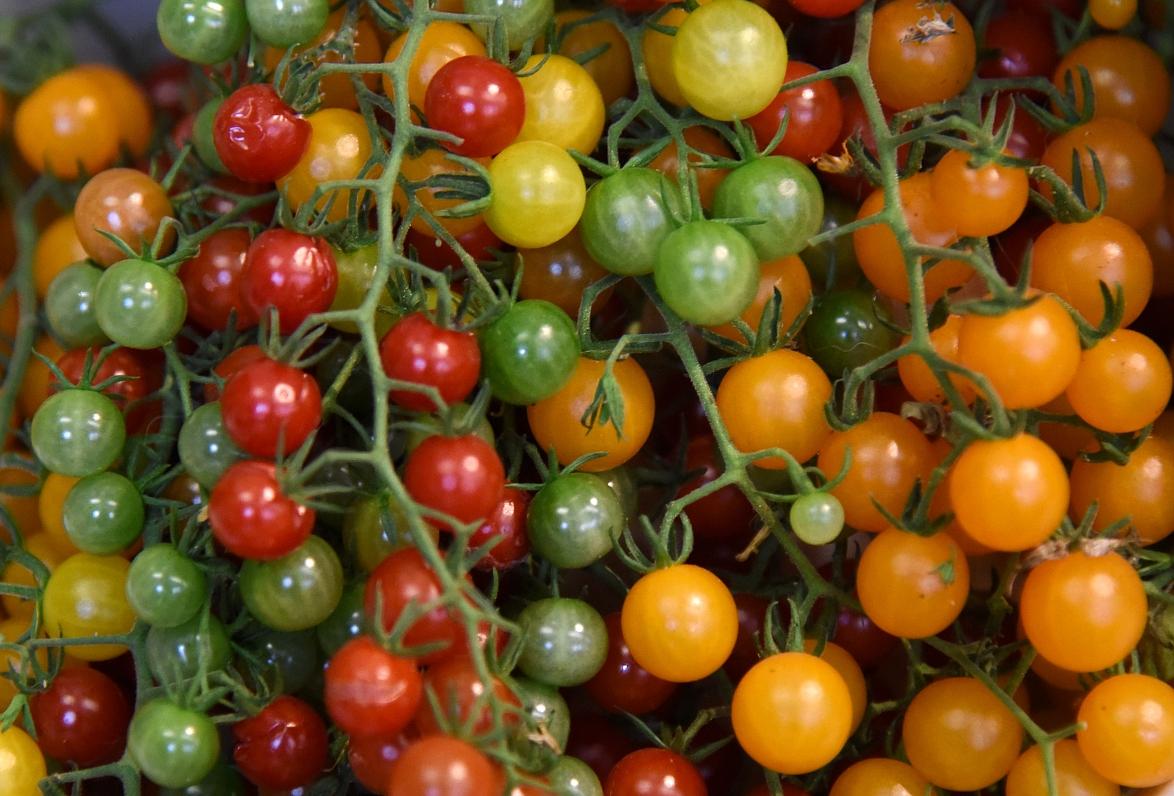 Музей природы приглашает на «парад томатов»