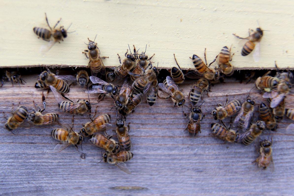 Jaunajās bišu vadlīnijās Eiropas Komisiju aicina vērtēt pesticīdu ietekmi ilgtermiņā