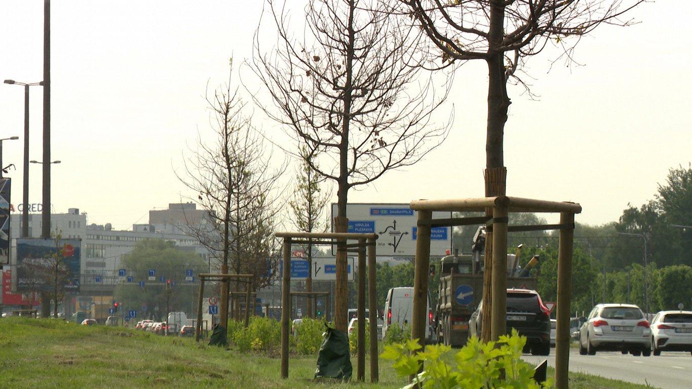 Деревья на ул. Краста в Риге сильно пострадали от соли зимой