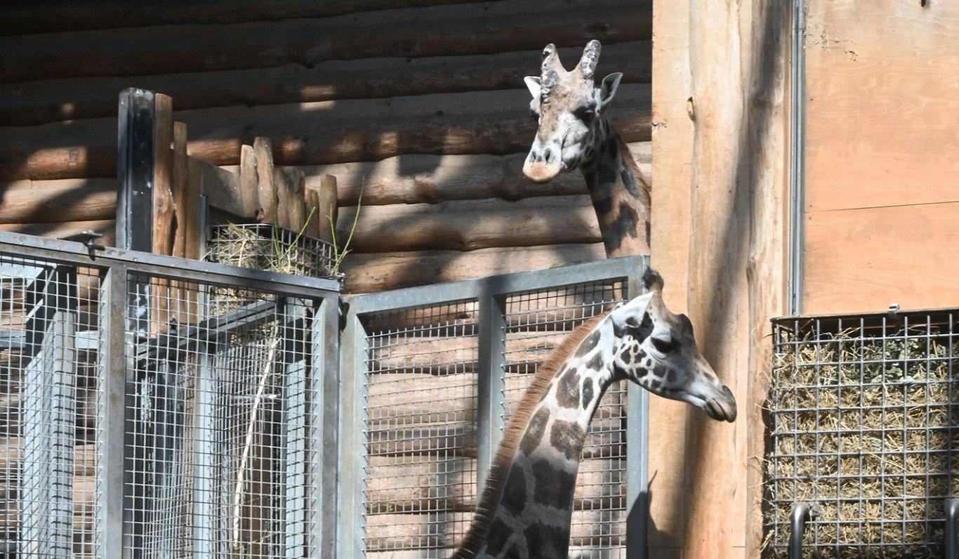 Жирафу в Рижском зоопарке больше не одиноко: ему привезли подругу (ФОТО)