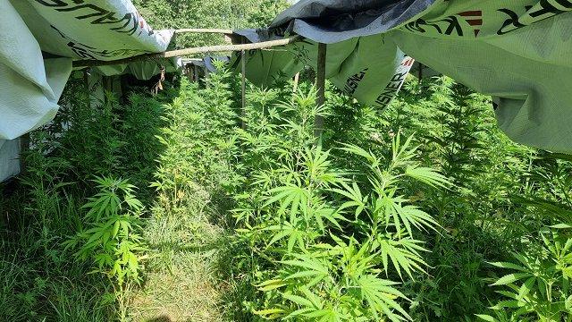 Jēkabpils novadā policija izņem 195, iespējams, narkotiskus augus