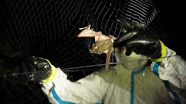 Laosā uzieti sikspārņi ar Covid-19 izraisītājam līdzīgiem vīrusiem